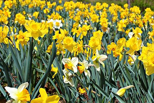 Andrew Davis - Field of White and Yellow Daffodils