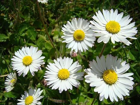 Baslee Troutman - Field of White Daisy Flowers art prints Summer