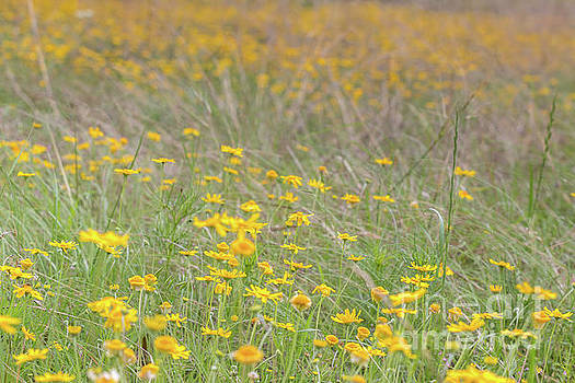 Field of Yellow Flowers in a Sunny Spring Day by PorqueNo Studios