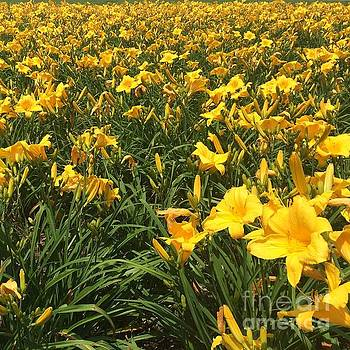 Field of Yellow Lilies  by Robin Maria Pedrero