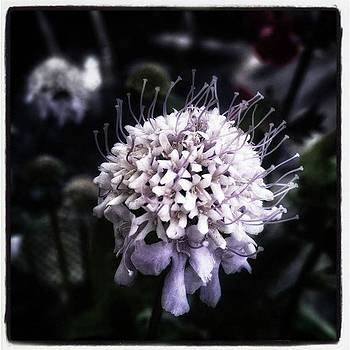 Field Scabious. A Member Of The by Jim James