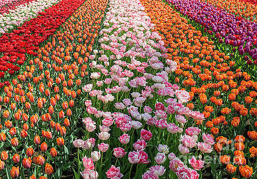 Field With Tulips In Orange Pink Purple And White by Compuinfoto