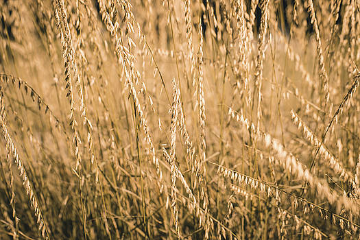 Fields of Gold by Allin Sorenson