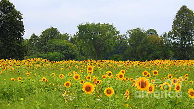 Fields of gold by Debra Kaye McKrill