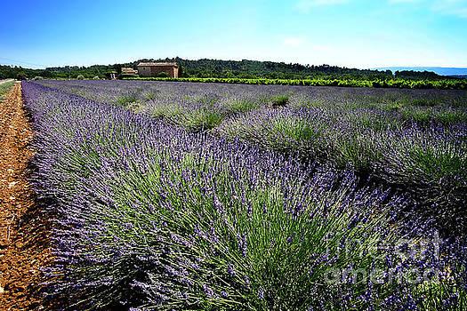 Fields of Lavender by Floyd Menezes
