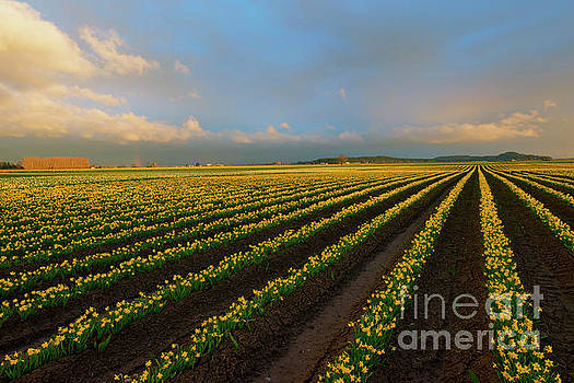 Fields of Yellow by Mike Dawson