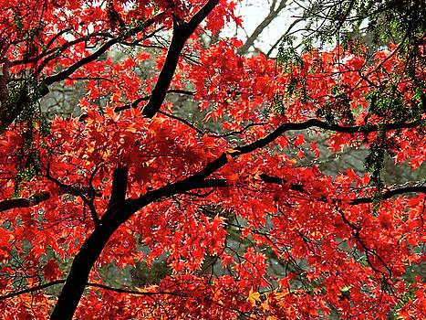 Fiery Acer Leaves 2 by Susie Peek