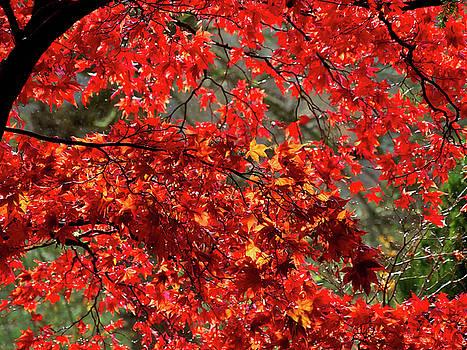 Fiery Acer Leaves by Susie Peek