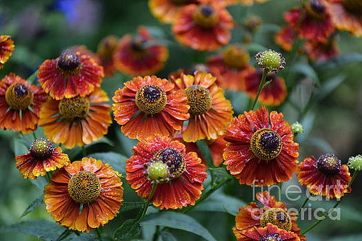 Fiery Heleniums by Tanya Searcy