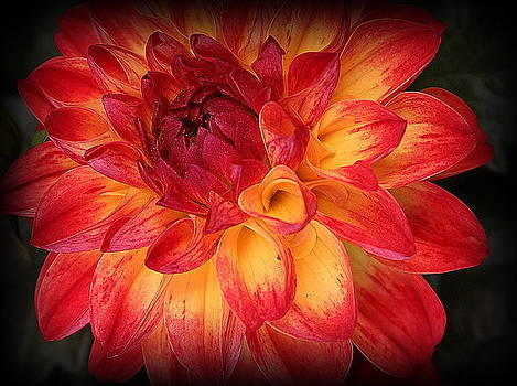 Fiery Red and Yellow Dahlia by Dora Sofia Caputo Photographic Design and Fine Art