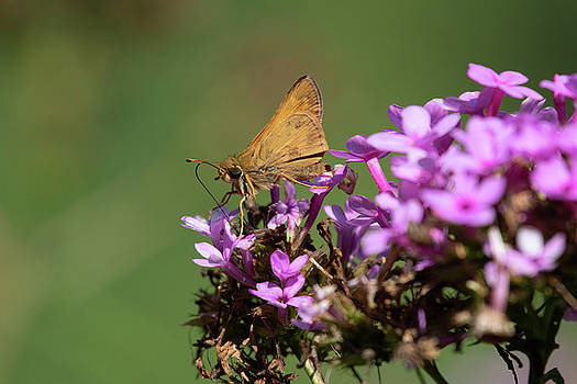 Fiery Skipper sipping nectar by Gary E Snyder