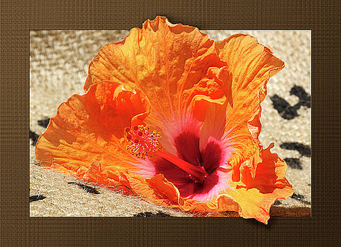 Fiesta Colors Hibiscus by Phyllis Denton