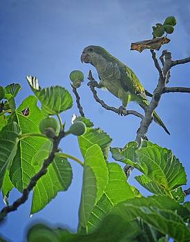 Dee Flouton - Fig Picker Parrot