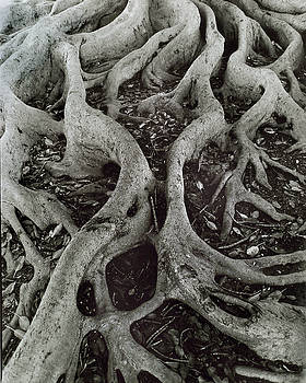 Fig Tree Roots by John Gilroy