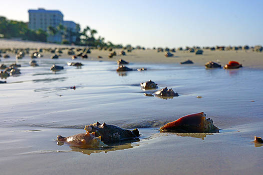 Fighting Conchs on the Beach In Naples, FL by Robb Stan
