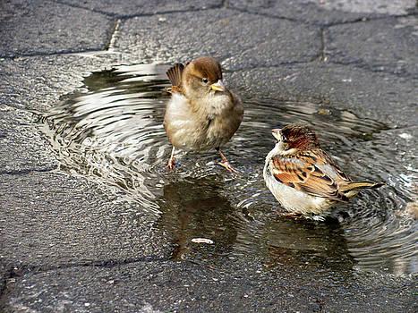 Fighting Sparrows by Jake Danishevsky