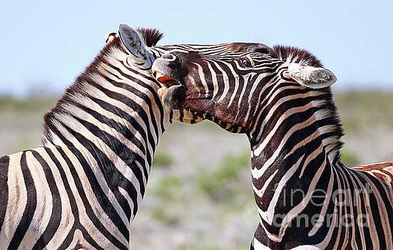 Fighting zebras, Africa wildlife by Wibke W