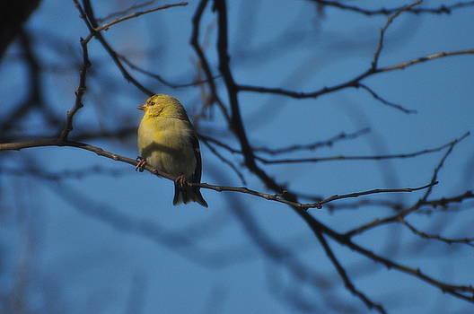 Finch by D Nigon