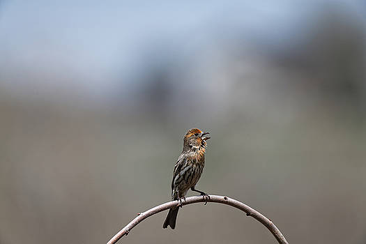Finch by Richard Keer