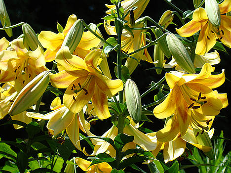 Baslee Troutman - Fine Art Lilies Yellow Colorful Bright Lily Flowers Baslee Troutman