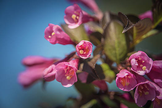 Fine wine weigela by William Lee