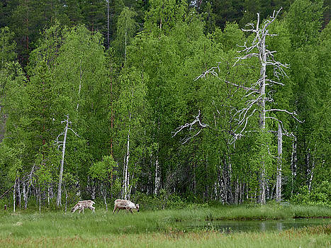 Finnish forest reindeer by the lake by Jouko Lehto