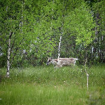 Finnish forest reindeer in the rain by Jouko Lehto