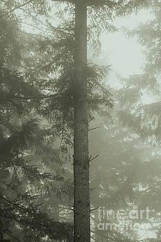 Fir and Fog by Charmian Vistaunet