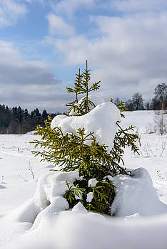 Fir Under The Snow by Sergei Dolgov