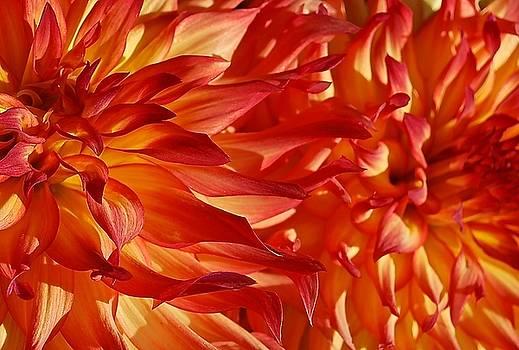 Fire Blaze Dahlias  by Suzanne McDonald