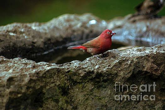 Fire Finch by Morris Keyonzo