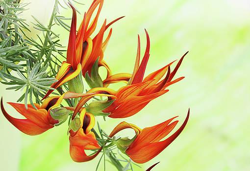 fire flower by Iuliia Malivanchuk by Iuliia Malivanchuk