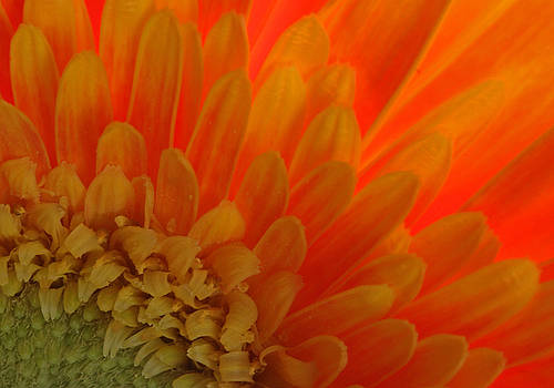 Fire Petals by Juergen Roth