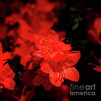 Fire Red Azaleas by Tamyra Ayles