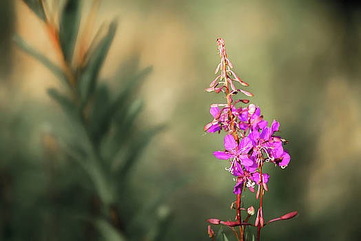 Fireweed Alfresco by Ron Day