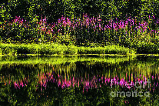 Paul Conrad - Fireweed At Picture Lake
