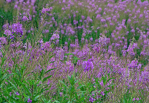 Fireweed in Glacier National Park by Bruce Gourley