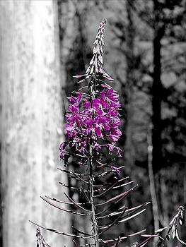 Fireweed by Leah Grunzke