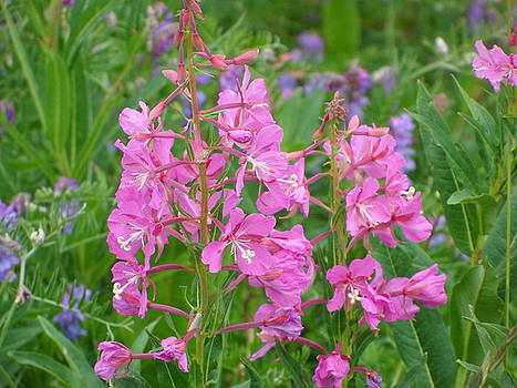 Fireweed by Mark Lehar