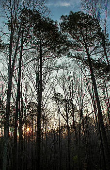 First Day of Spring, North Carolina Pines by Jim Moore