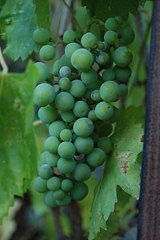 First Grapes by Kim Blumenstein