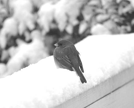 Kathy Kelly - First Snow Junco