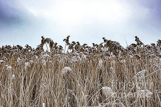 First Snow On Roman Reed by Benjamin Wiedmann