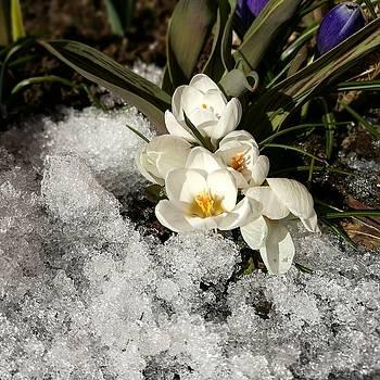 First spring flowers by Tamara Sushko