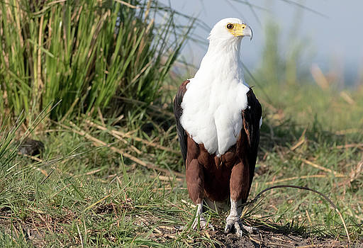 Fish Eagle by Robert Bolla