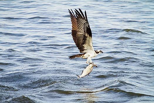 Michael McStamp - Fish Hawk