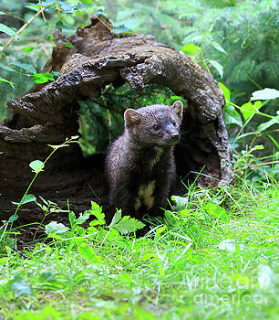 Fisher looking out from a hollow log by Louise Heusinkveld