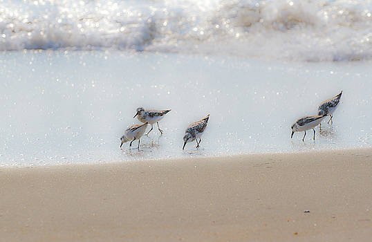 Allan Levin - Five Feeding Sandpipers