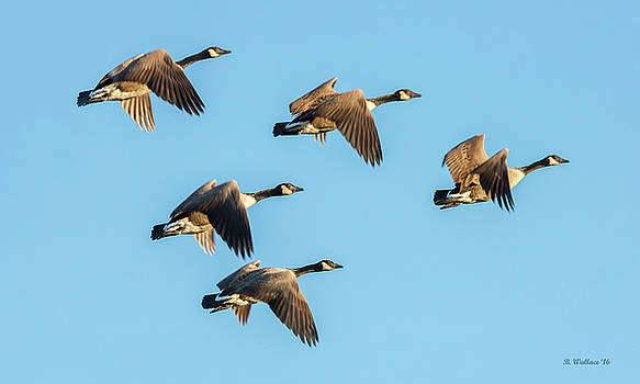 Five Flying Geese by Brian Wallace