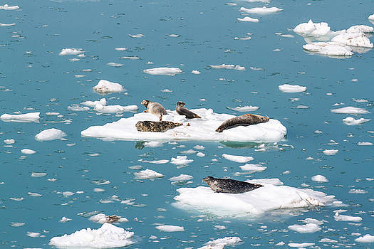 Allan Levin - Five Habor Seals on Ice Flows